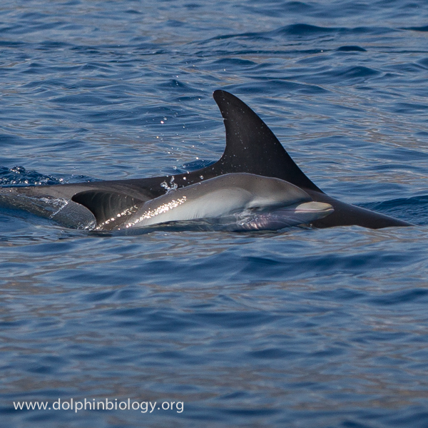 Dolphin Biology and Conservation: Striped dolphin baby - 1