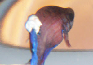 Betta disease fungal infections nice betta for Cotton wool disease in fish