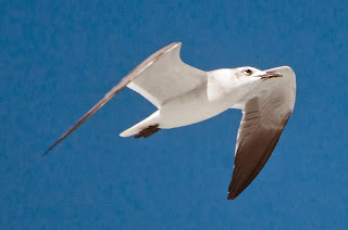 Laughing Gull (Larus ridibundus)