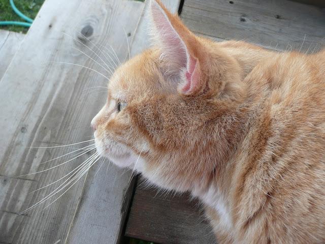 Tigger Cat Alberta