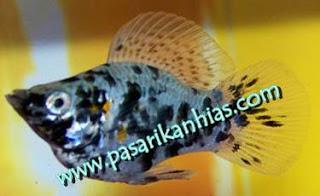 Jual Ikan Hias Black Molly Balon