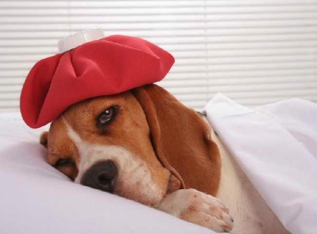 Tosse em Cães - Doença ou sintoma?