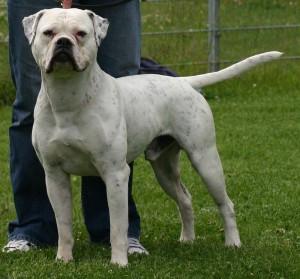 Anjing Bulldog Amerika