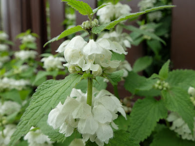 Lamium album – White Dead-Nettle (#186)