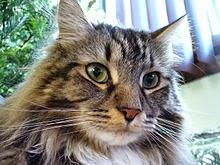 Mặt một con mèo Maine Coon