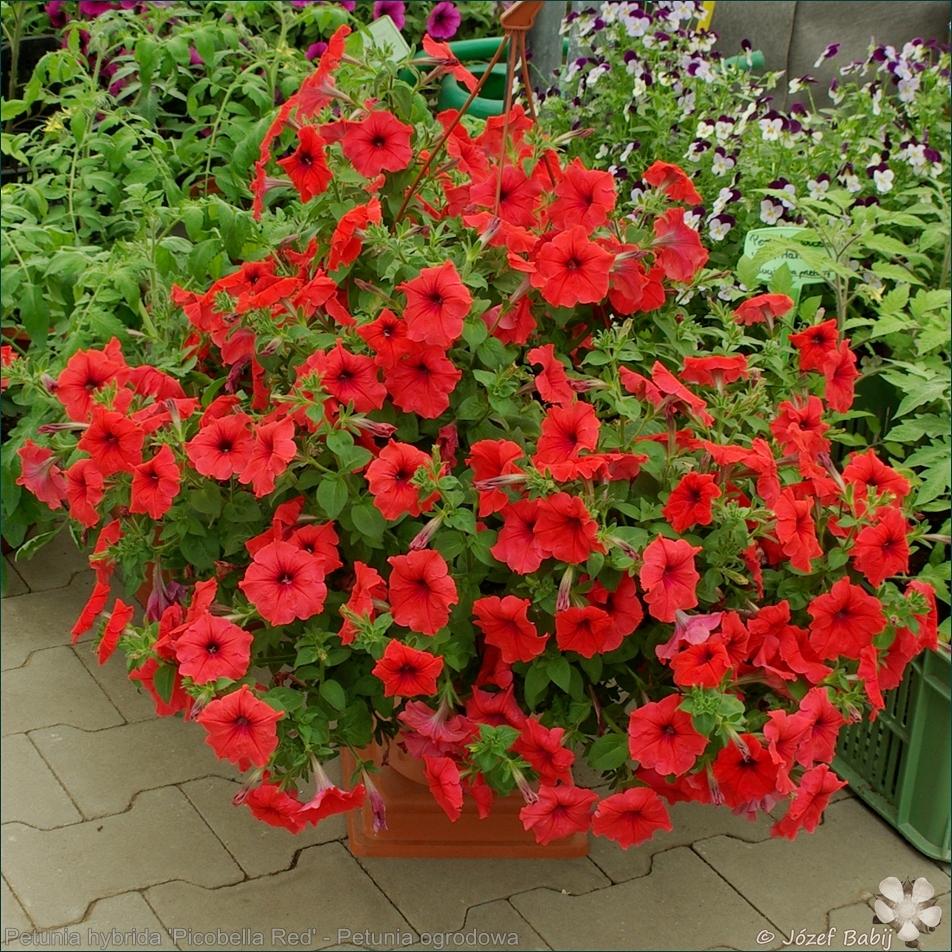 Petunia hybrida 'Picobella Red' - Petunia ogrodowa 'Picobella Red'