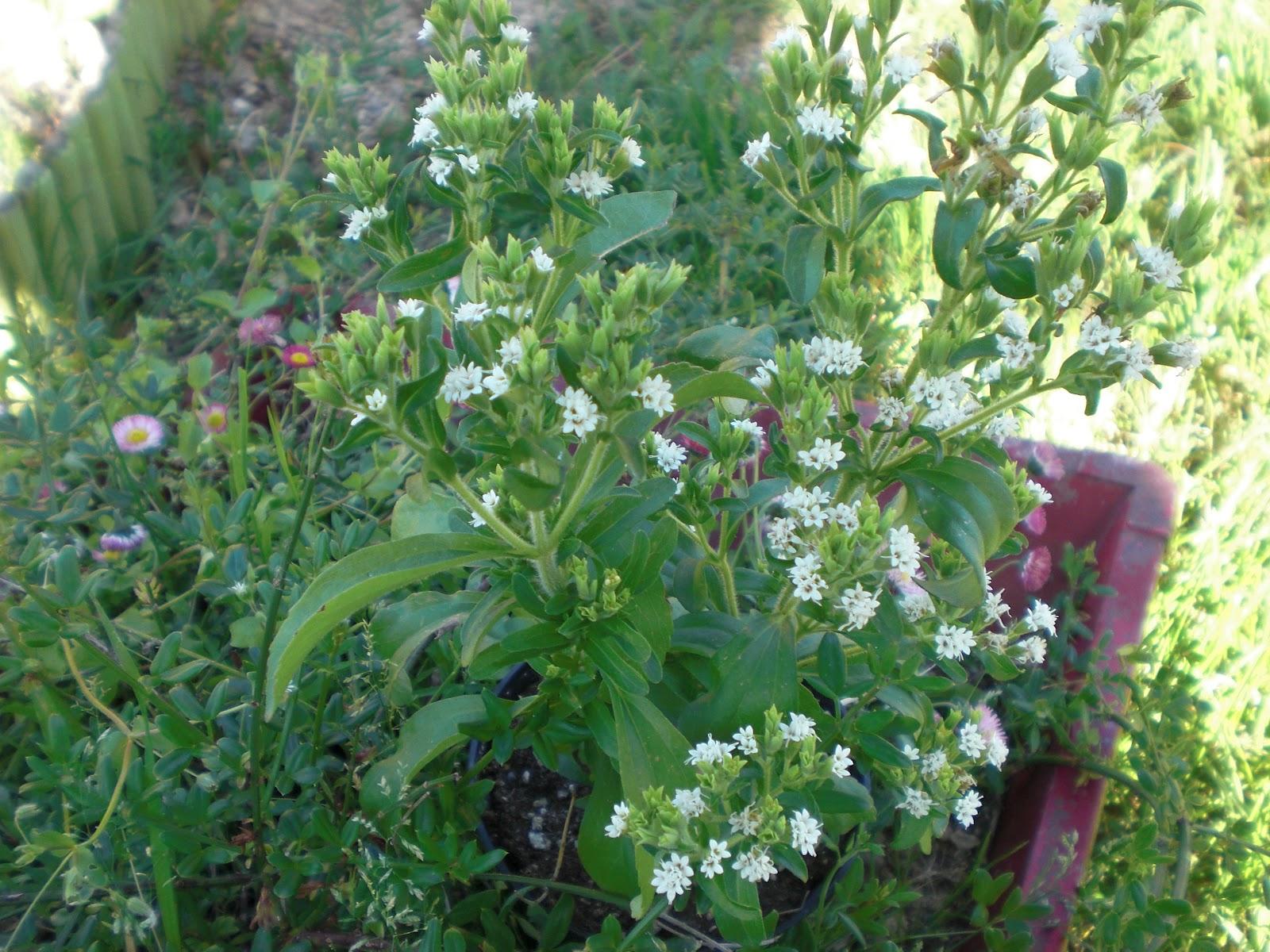 Il sentiero nel bosco la stevia una pianta rivoluzionaria for Stevia pianta