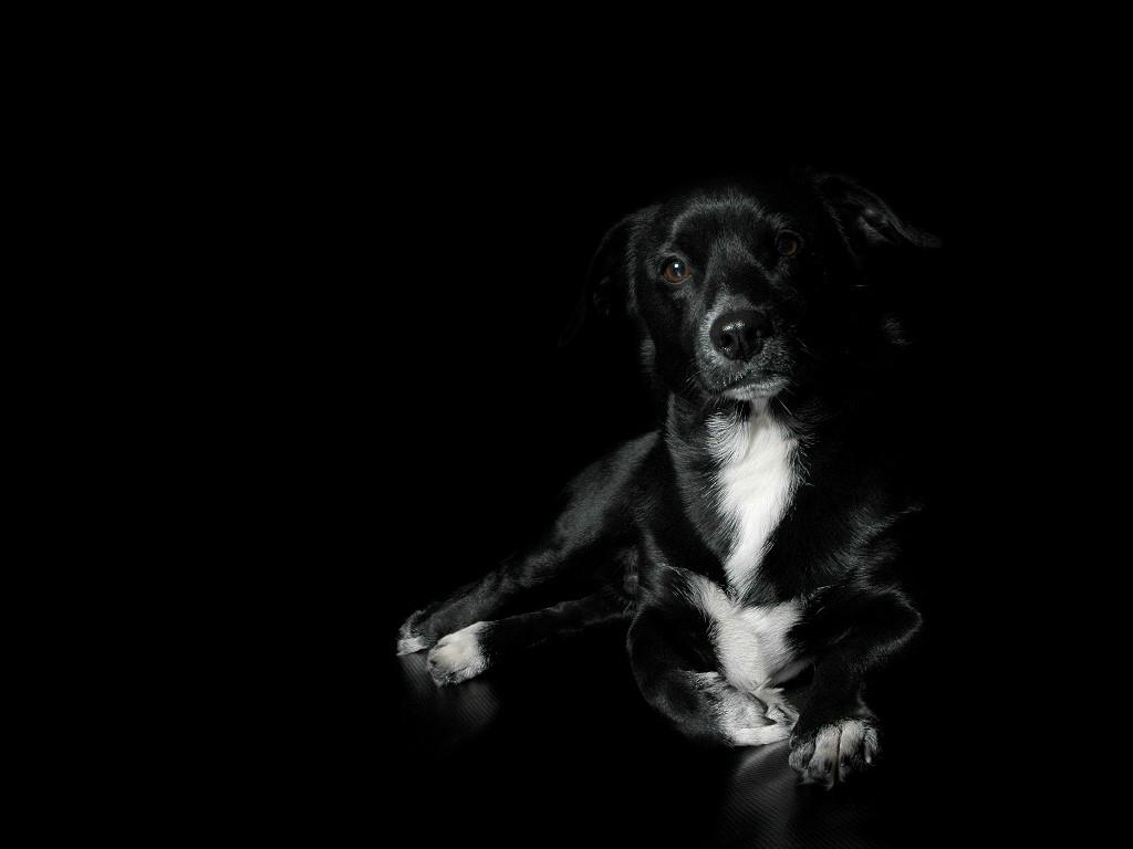 unique animals blogs: black dog wallpapers for desktop