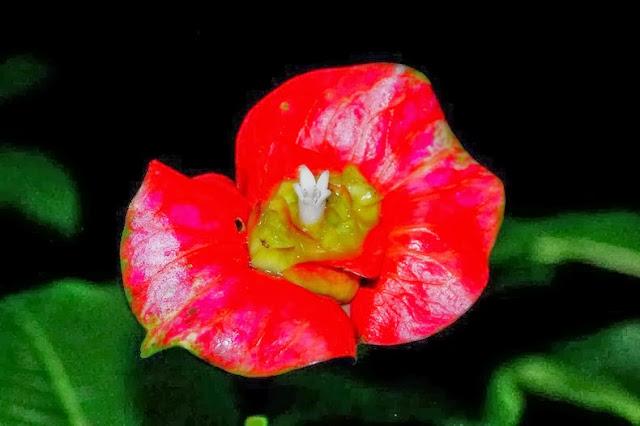 Psychotria Elata labios de Hooker planta besable