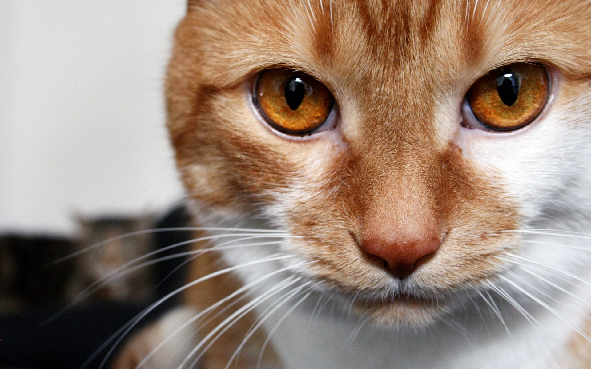 Brown Eyes Cat Widescreen HD Desktop Backgrounds, Wallpapers