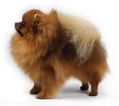 17++ Anjing mini pom bali terbaru