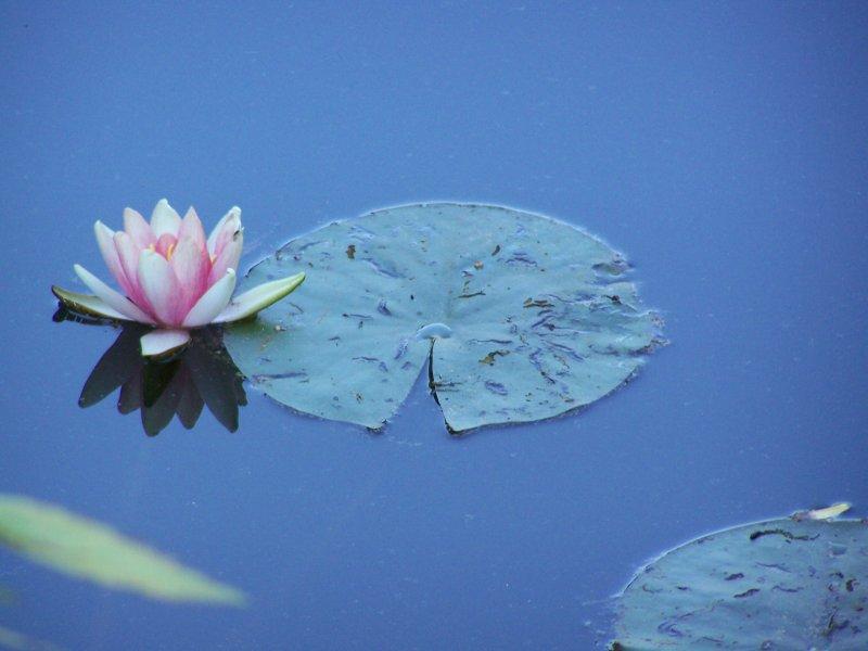 Beautyful Flowers Flowers In Water Nice