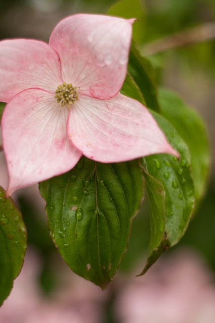 Japanese Dogwood blossom with raindrops