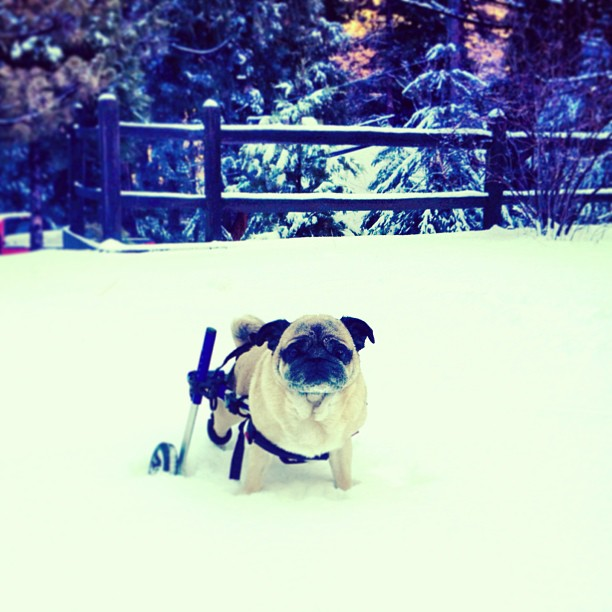 bebop pugman stuck in the snow