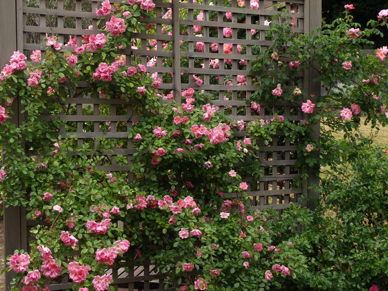 Miss gingham climbing roses - Climbing rose trellis ...