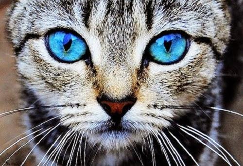photo chat avec des yeux bleus photo de chat. Black Bedroom Furniture Sets. Home Design Ideas