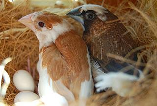 emprit jepang breding, Lonchura striata domestica, society finch
