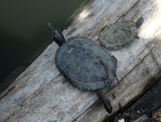 This poor turtle in Dixon Branch Creek has a fishing hook stuck in its mouth