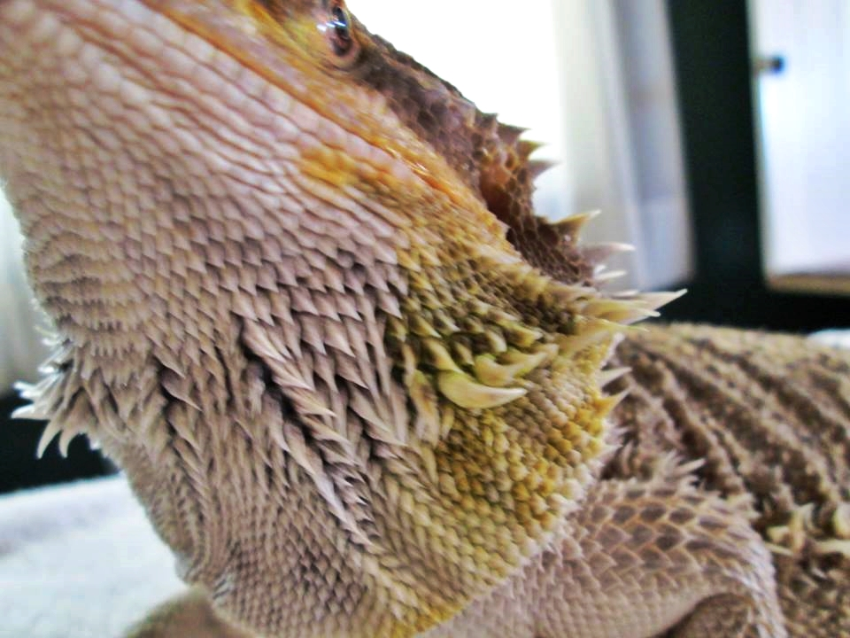 Bearded Dragon Unresponsive Flipping Onto Back Years Of Pet Neglect 8 You