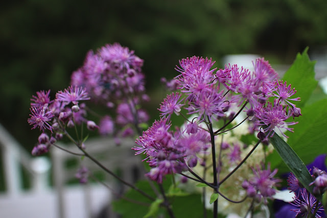 The Garden Appreciation Society -- Thalictrum 'Black Stockings'