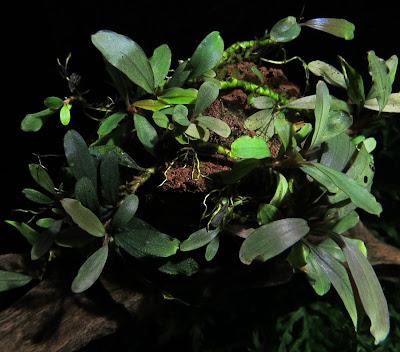 Картинки по запросу Bucephalandra sp. Hyperion Melawi