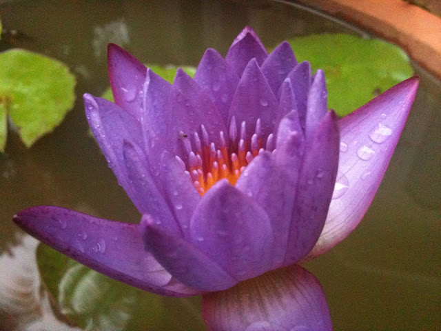 water lily just after a shower