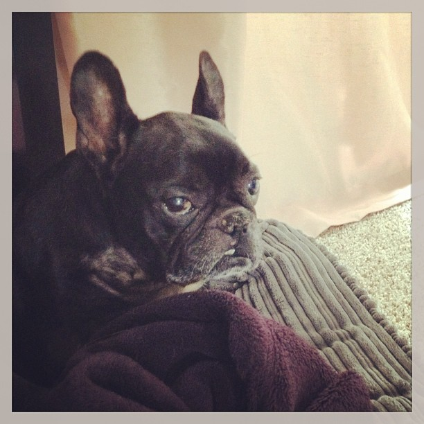 black french bulldog, LeRoy