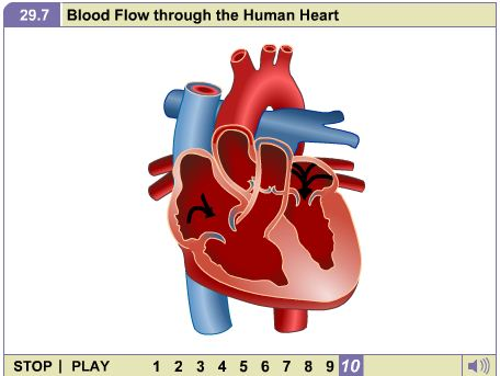 Biology animations blood flow through the human heart blood flow through the human heart ccuart Image collections