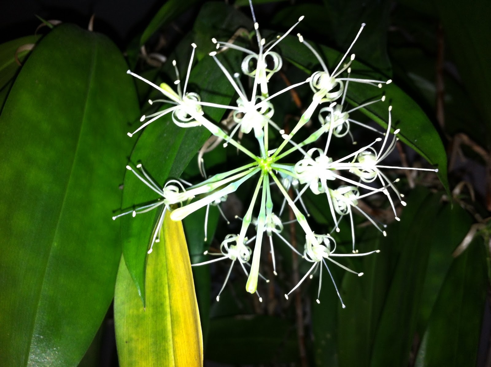 Uncle frank the cabbie rare and beautiful flowers wow see how beautiful the bamboo flowers look when in full bloom taken at 230am on 2nd april 2013 its such a thrill to see this very rare bamboo plant izmirmasajfo