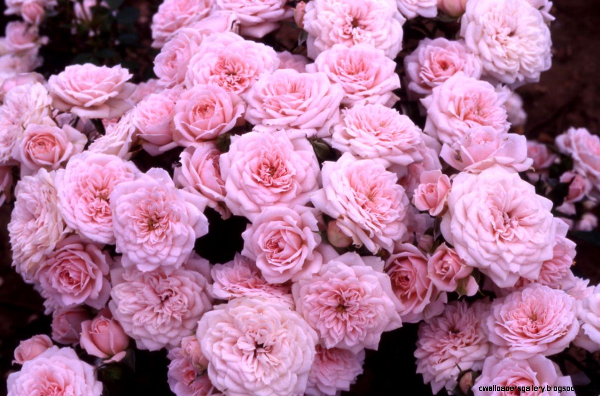 Tumblr static background flowers pink rose roses   Love