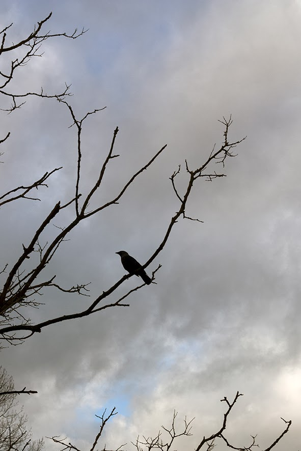 crow on bare branch