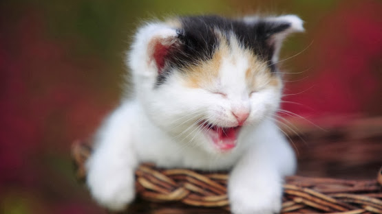 cat laughing cute happy face animals hd wallpaper image