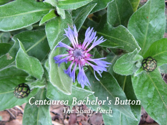 Centaurea Bachelor's Button at The Shady Porch