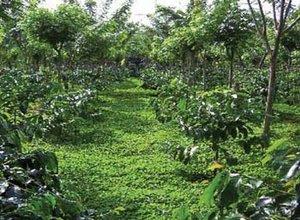 pengendalian-gulma-tanaman-kopi.jpg