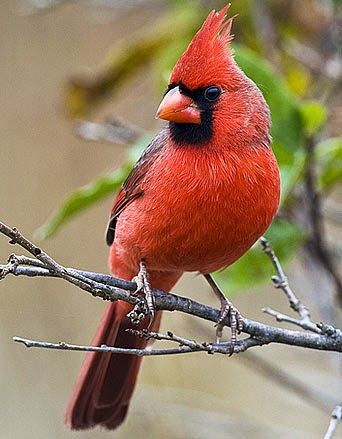 http://www.factzoo.com/birds/northern-cardinal-bright-red-fierce-defender.html