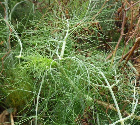 Obat Herbal Mujarab Khasiat Herbal Tanaman Adas