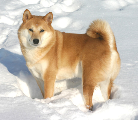 Chow Dogs In Hot Climate