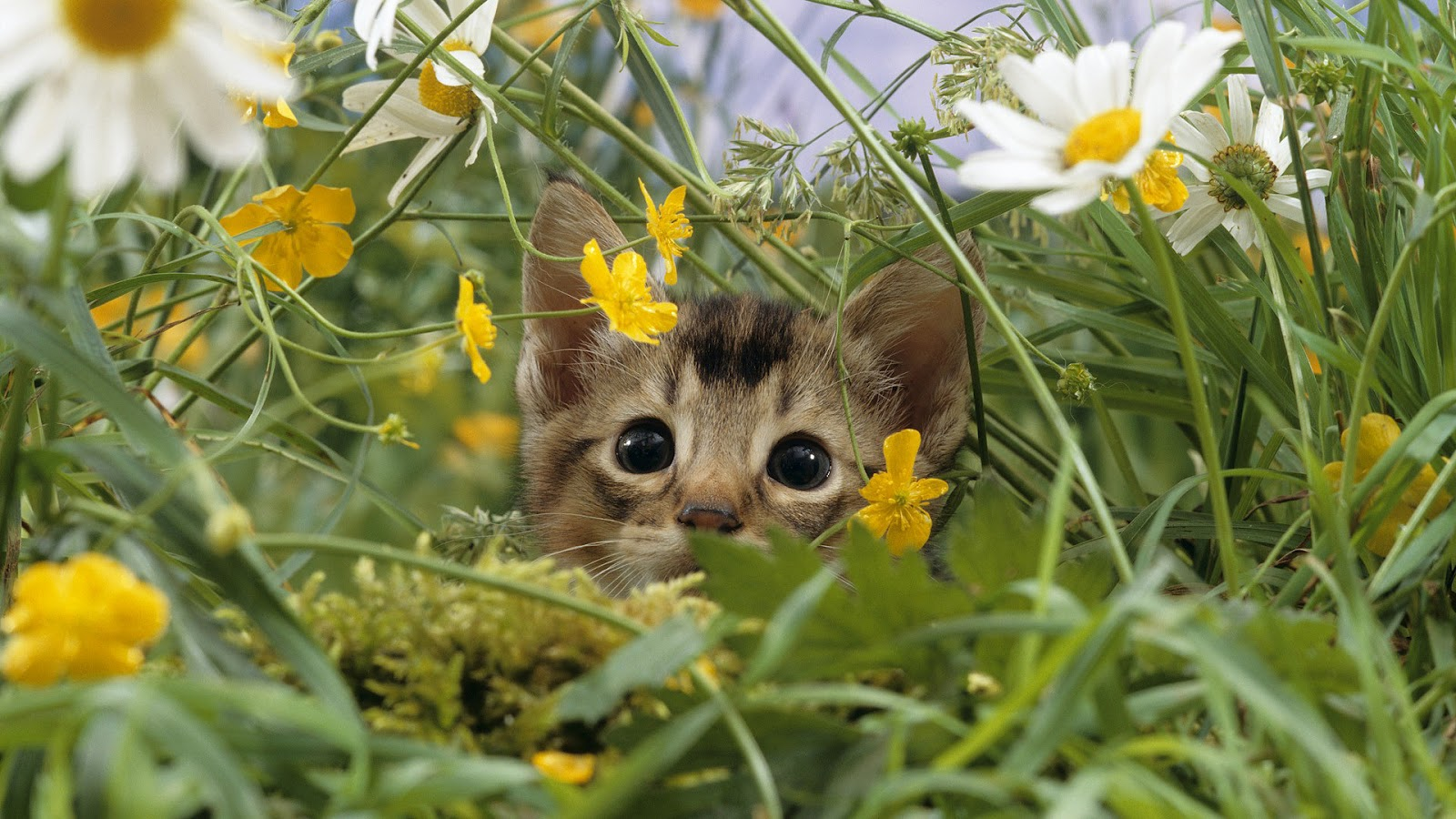 Cool   Wallpaper Horse Flower - hd-cat-wallpaper-with-a-cat-in-the-high-grass-background  Gallery_332085.jpg