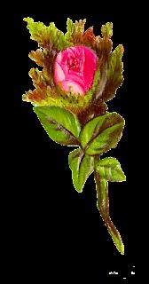 stock rose illustration