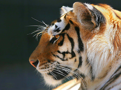 Tigers Photos