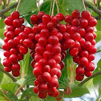 common herbs used in FLP:Schisandra Berries
