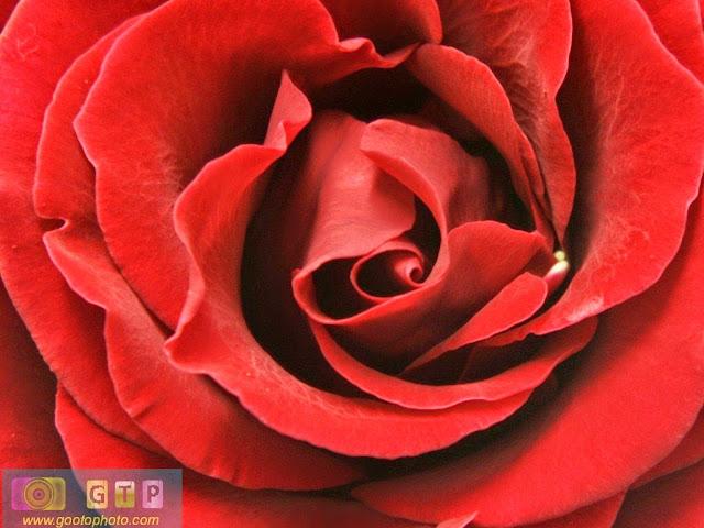صور ورد احمر وردة جوري 2014