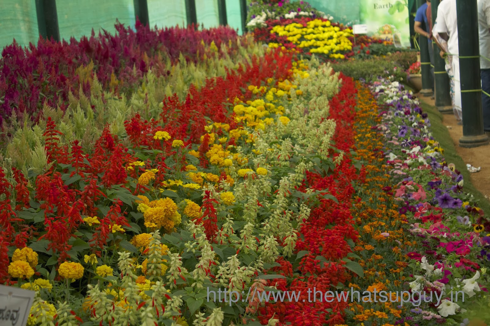 Colorful Flowers Lalbagh Flower Show