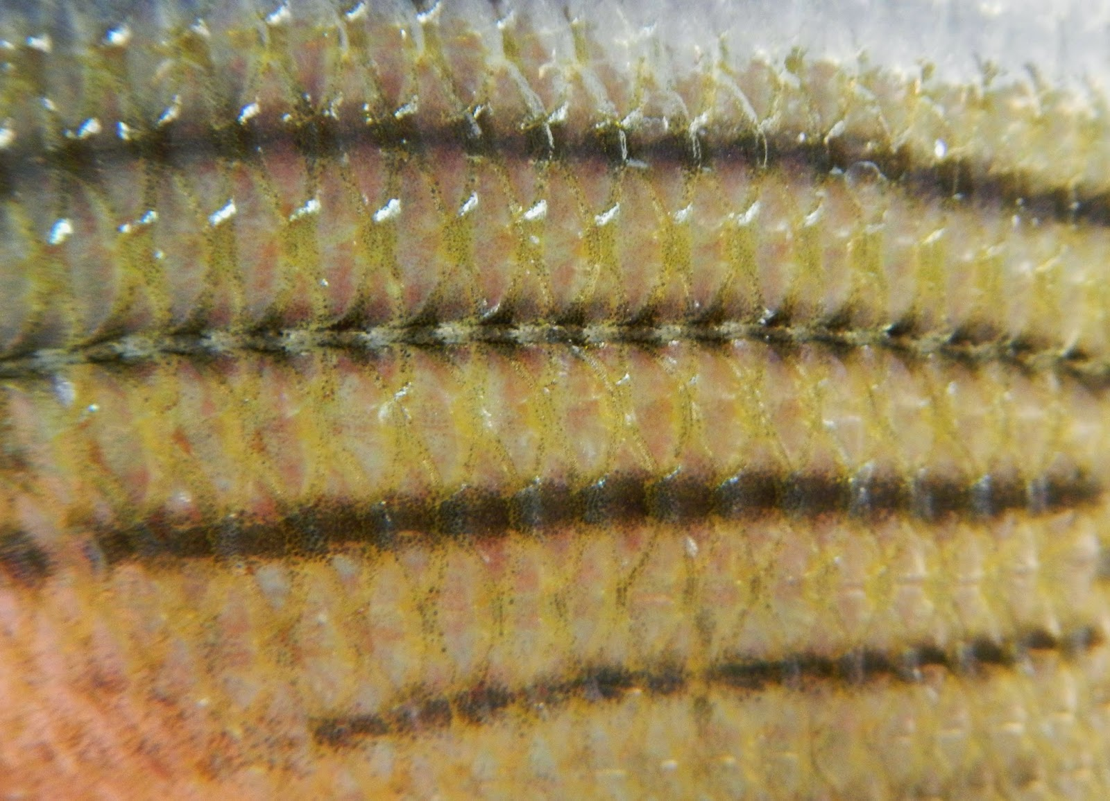 Yellow Bass Skin