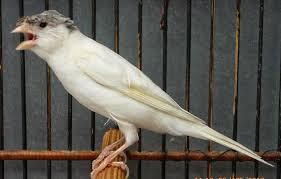 Cara Agar Burung Kenari Cepat Bertelur