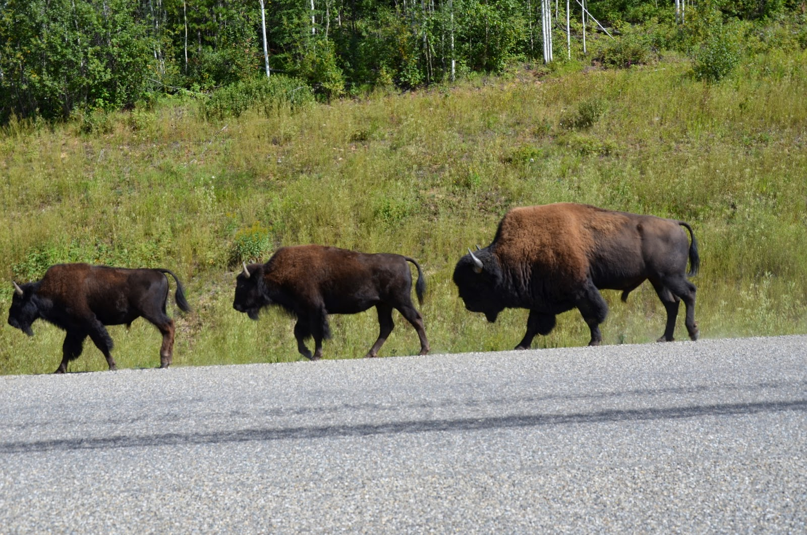 Buffalo on the road close to Liard Hotsprings.
