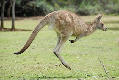 Kangaroo HD Wallpapers