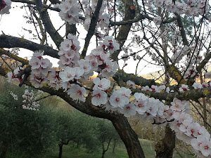 Fiori di albicocco