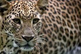 Wanita Bunuh Harimau Bintang