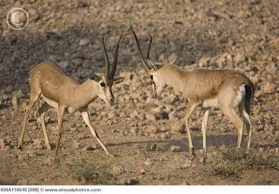 Chinkara gazelle
